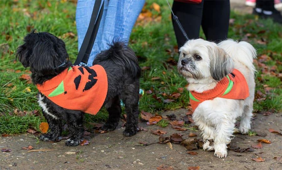 Pumpkin fancy dress dogs