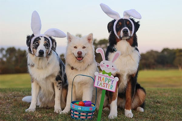 Dogs dressed for Easter in bunny ears with a basket of eggs
